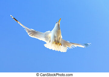 Seabird in the air in-front of the blue sky