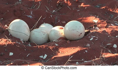 ostrich eggs in nest