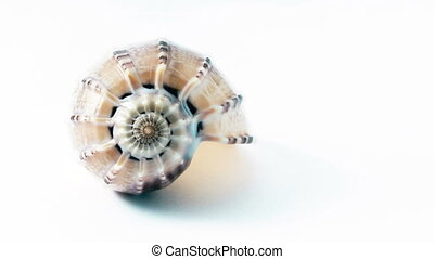 Golden Mean Shell Spiral - Spiral of a shell expressing the...