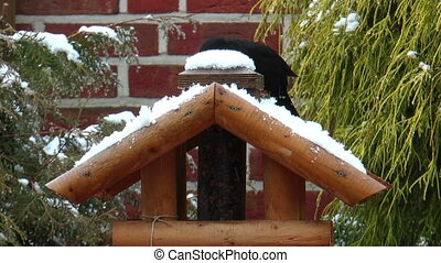 Common blackbird eating snow in winter on a birds house. A...