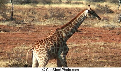 Giraffe walking trough the bush