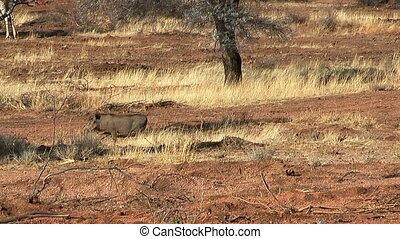 warthog runnig trough the bush - warthog running trough the...