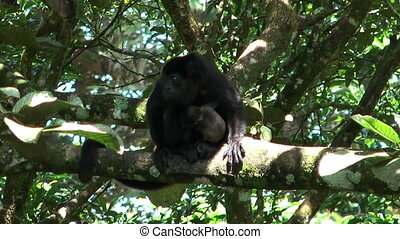 howler monkey with baby - howler monkey in costa rica with...