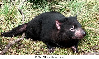 tasmanian devil piecking up scent - tasmanian picking up the...