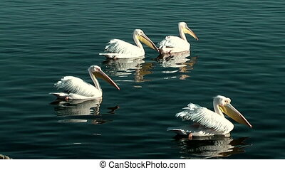Pelicans swimming in blue water