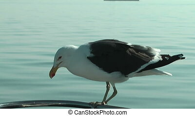 handicapped seagull balancing on a swaying ships railing