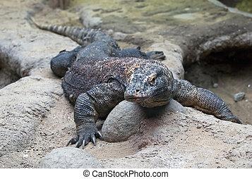 Big Komodo Dragon (Varanus komodoensis)