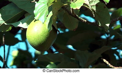 Avocado Fruit hanging in tree blown by soft wind, shot in...