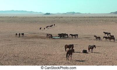Namib desert horses in Namibia - Namnib desert horses in...