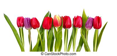 Row of tulips - Row of colorful tulips isolated on white