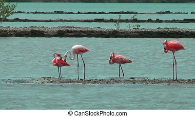 american flamingos at salt flat - american flamingos feeding...