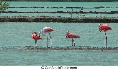 american flamingos at salt flat