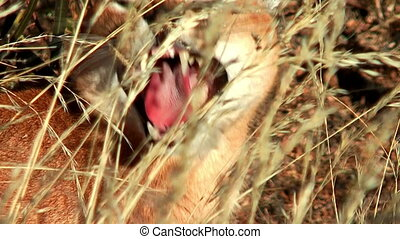 caracal close up - Close up of caracal lying in the grass ,...