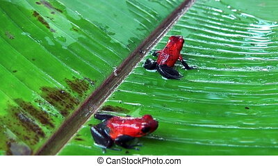 poison dart frogs on a leaf - two red poison dart frogs...
