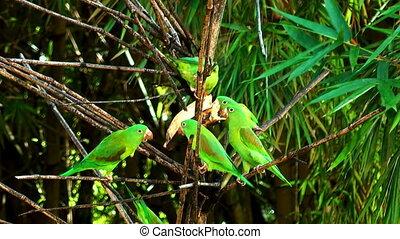 parrots feeding on a banana