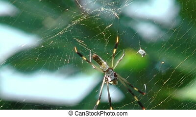golden silk orb weaver web spider in her web