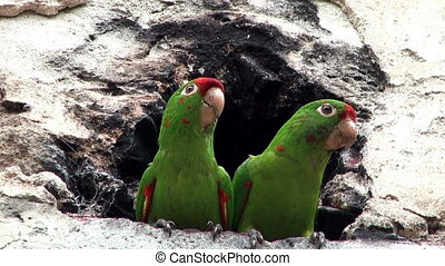 couple of parrots sitting in front of a cavern and moving...
