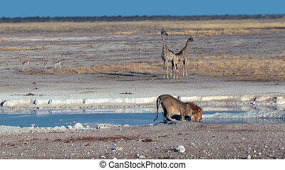 Couple of lions drinking water at Ethosha National Park...
