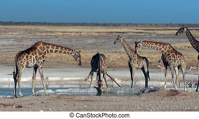 Group of Giraffes at waterhole - A group of giraffes in...