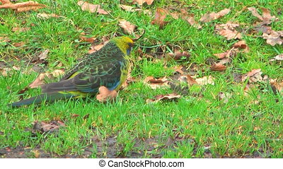 Australian rosella - Beautiful coloured australian rosella...
