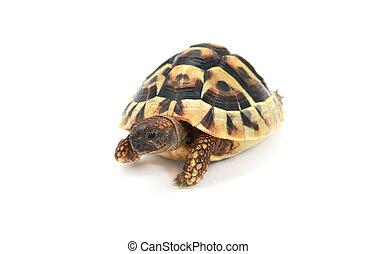Hermann's tortoise on white - cute reptile - Hermann's...