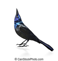 Common Grackle On White Background