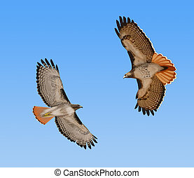Red-tailed Hawks in flight - Two Red-tailed Hawks Buteo...