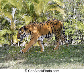Walking Tiger - A Tiger Walking Around On Sunny Morning