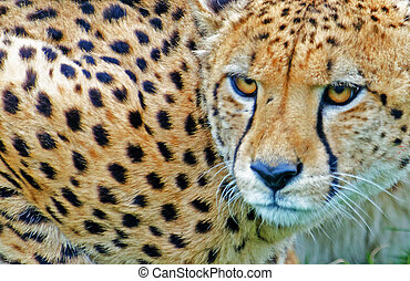 Cheetah - Close up of crouching cheetah