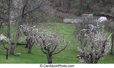 Mowing The Orchard - Heavy grass under the fruit tree Its...