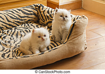 Two White Blue Eyed Persian Kittens - Female Persian kitten...