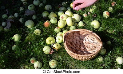 woman collect apple fruit - woman hand gather fall ripe...