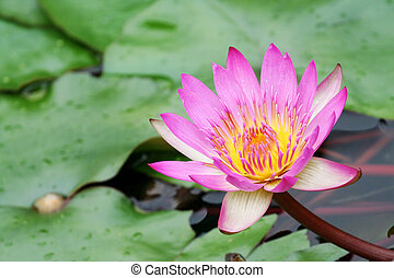 waterlily - Picture of a pink waterlily.