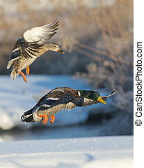 Landing Mallard Pair - Pair of Mallards landing on a frozen...