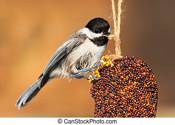 Pecking Chickadee - While perched, a chickadee pecks at the...