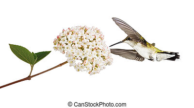 Hummingbird and a Viburnum - A ruby throated hummingbird...