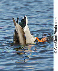Feeding Mallard Drake in a shallow pond