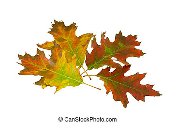 four decorative oak leave in autumn composition