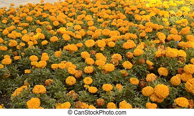 Flowerbed of orange chrysanthemums