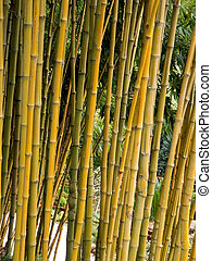 Bamboo - Clump of bamboo in a tropical garden