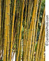 Bamboo - Clump of bamboo in a tropical garden