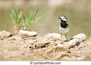 wagtail - white wagtail on stone on the river