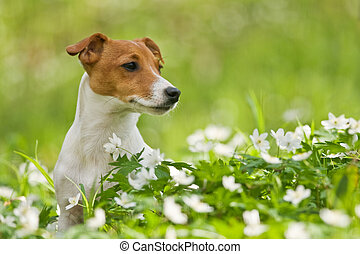 jack russel on spring forest