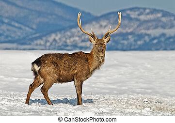 buck - spotted deer on winter field