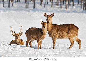 deer family on winter field