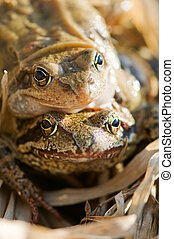 frog - pair of frog on spawning time