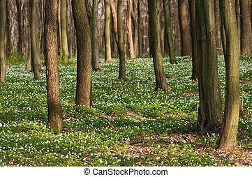 forest - Spring forest with white flowers