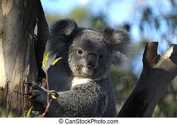 Zoology - Australia, koala bear in gum tree