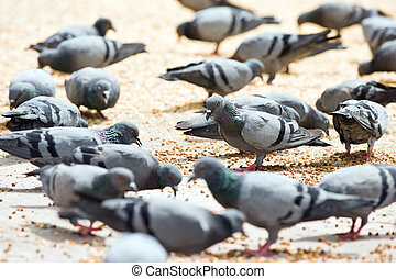 pigeons with corn on square