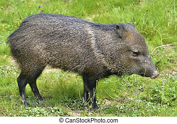 Collared Peccary on grass - Closeup of Collared Peccary...